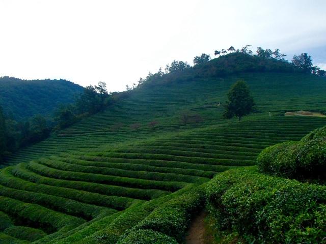 A literal mountain of green tea